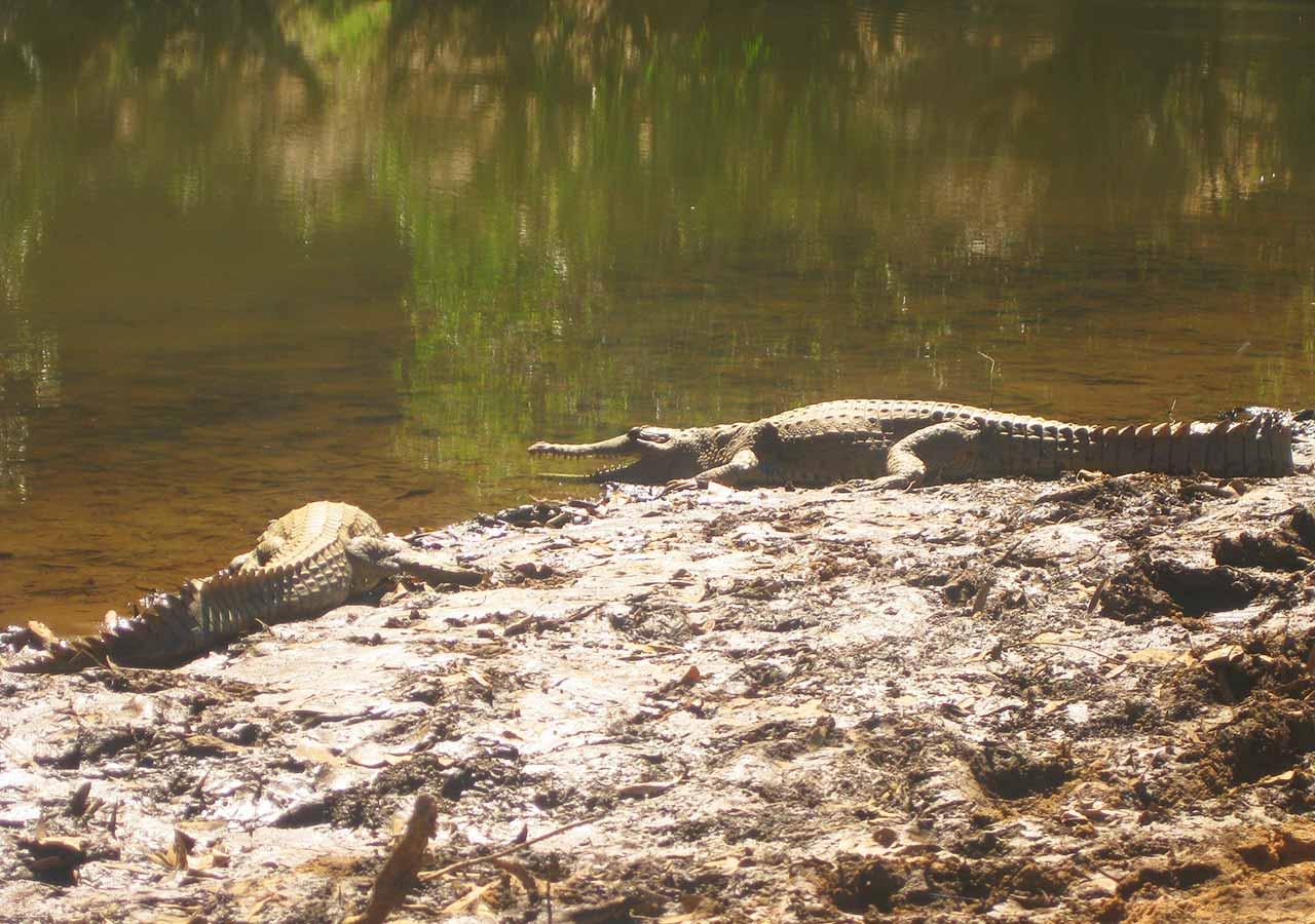 ダーウィン観光 ジャンピングクロコダイル クロコダイルの画像