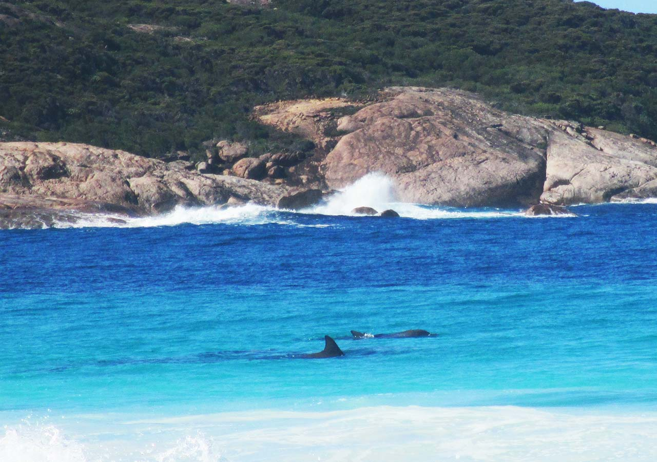 エスペランス観光 ケープ・ル・グラン国立公園 シスルコーブ(Thistle Cove)の浅瀬で泳ぐイルカたち