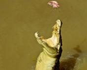 「ダーウィン観光で絶対必見!ジャンピングクロコダイル(オーストラリア観光)」 トップ画像