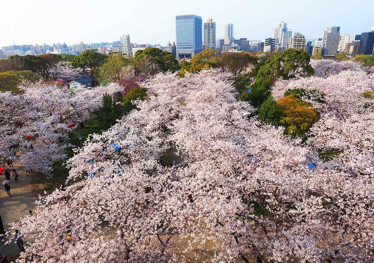 舞鶴公園「福岡城さくらまつり」ライトアップ 福岡城の桜園(天守台)昼間の景色