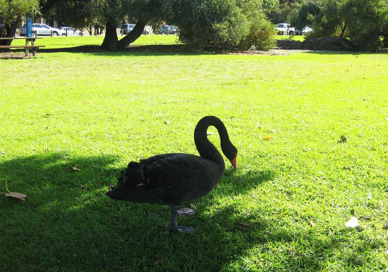 パース観光 マチルダ湾(Matilda Bay)の黒鳥