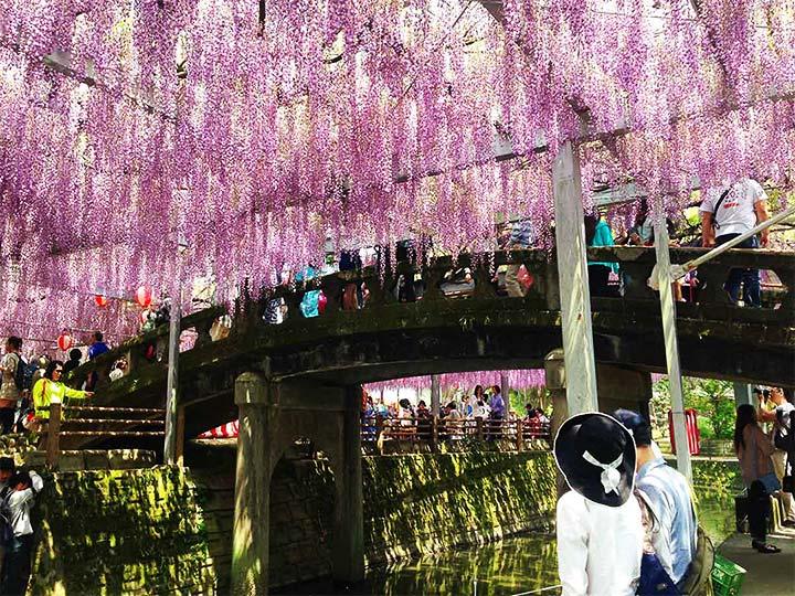 「福岡県の藤の名所「中山大藤まつり」で樹齢300年の藤を望む!2018年版」 トップ画像