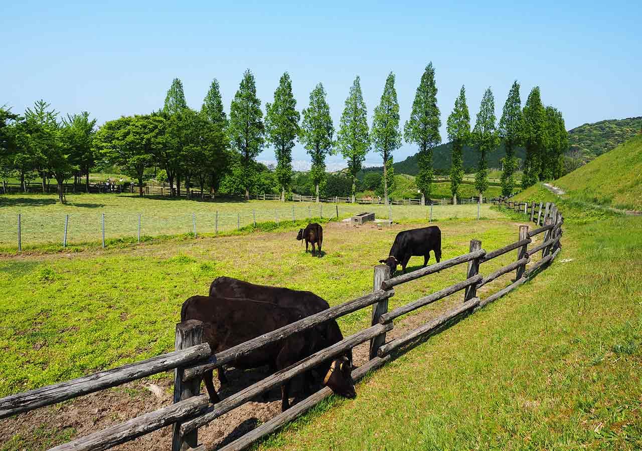 福岡観光 もーもーらんど油山牧場 乳牛たち