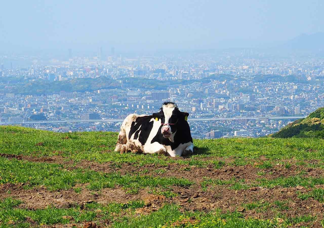 福岡観光 もーもーらんど油山牧場 牛と福岡市の展望