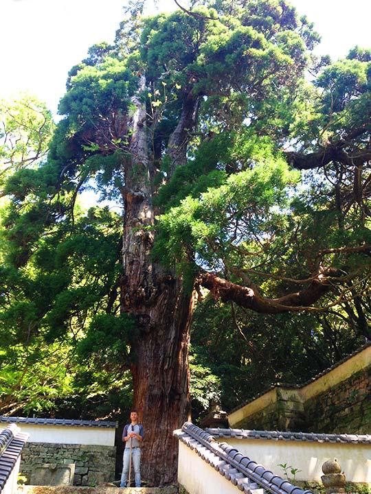 長崎県 対馬 万松院の大杉