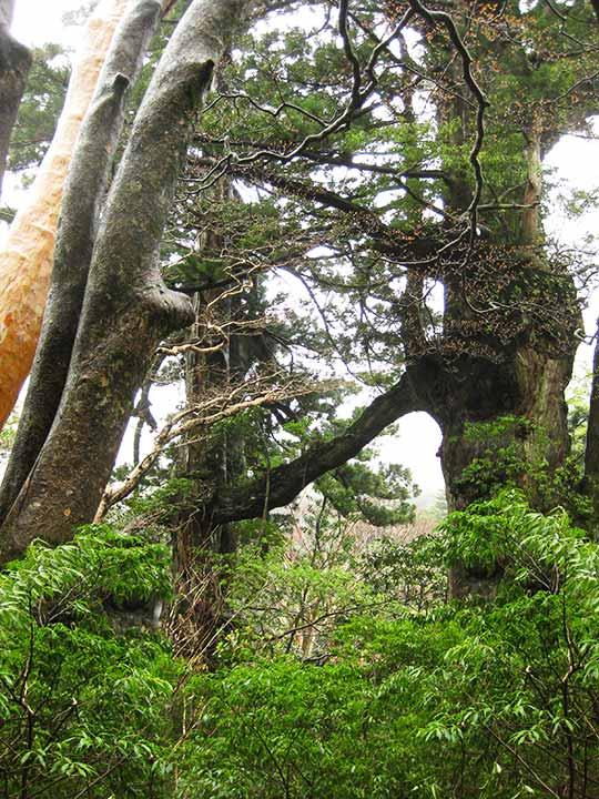 鹿児島 屋久島一周の観光コース 夫婦杉