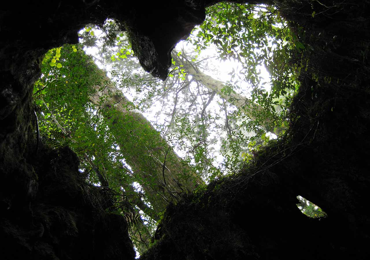 鹿児島 屋久島一周の観光コース ウィルソン杉のハート型