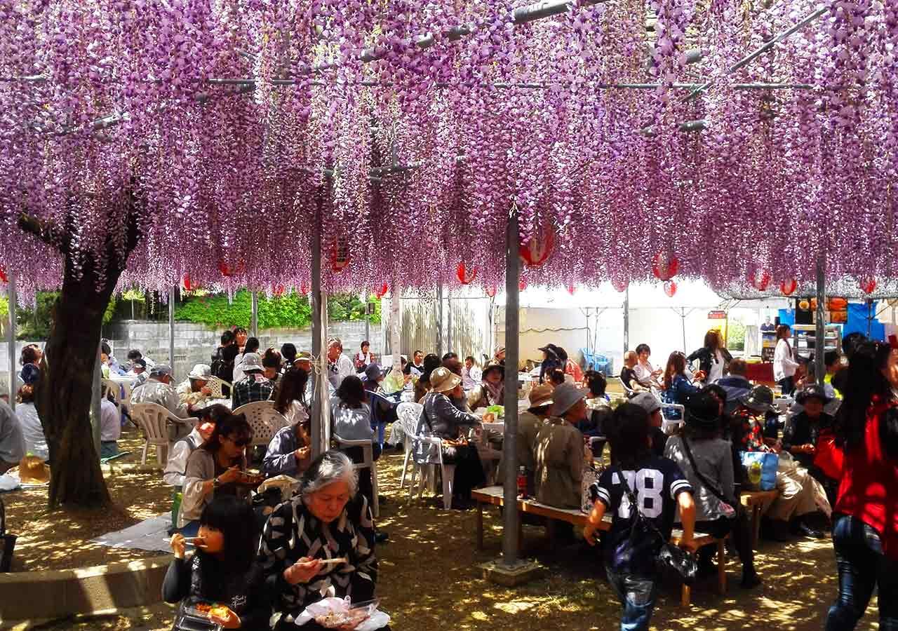 柳川(福岡) 中山の大藤 藤の下でランチを楽しむ人々