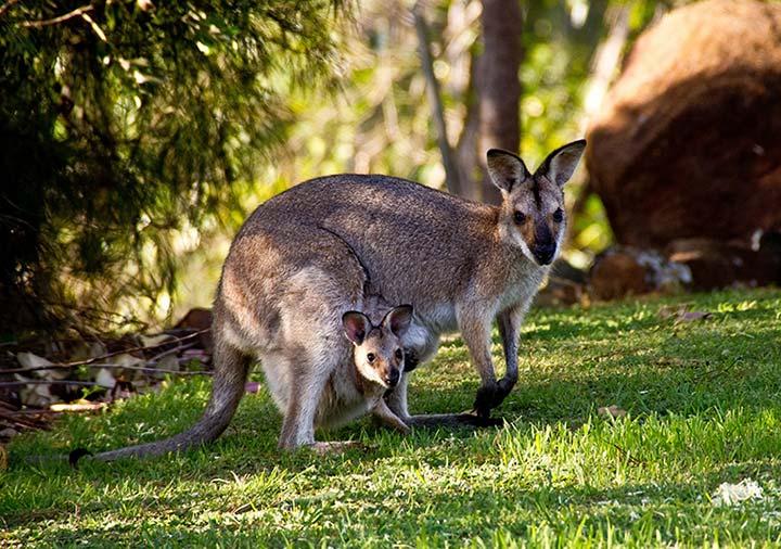 オーストラリアのワラビー
