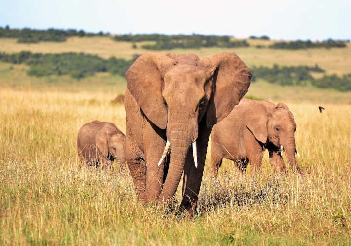 ケニアの象の画像